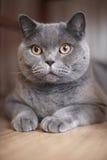 A gray cat Royalty Free Stock Photos