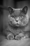 A gray cat Stock Photos