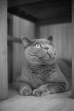 A gray cat Royalty Free Stock Photo
