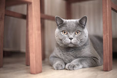 A gray cat Royalty Free Stock Images