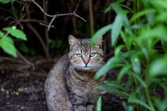 The gray cat sits among green leaves of a bush. Close up portrait royalty free stock images