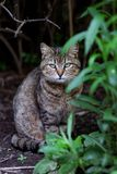 The gray cat sits among green leaves of a bush. Close up portrait stock photography