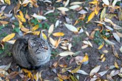 Gray cat sits on the ground covered with yellow autumn leaves. stock photos