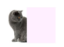 Gray cat sits near a banner. white background. Stock Photo