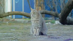 The gray cat sits on a stone pavement stock video footage