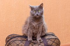 Gray cat sits on a suitcase. Waiting for the train at the train station. Passenger with a suitcase while traveling_. Gray cat sits on a suitcase. Waiting for the royalty free stock photography
