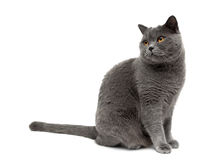 Gray cat sits on a white background Stock Photography