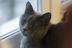 Gray cat sits on window Royalty Free Stock Photography