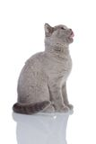 Gray cat sitting. Grey cat isolated on a white background Royalty Free Stock Image