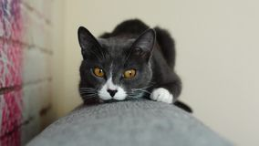Gray cat sitting on back of sofa stock video