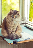 Gray Cat sitting on  a balcony with sunlight Royalty Free Stock Photography