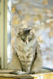 Gray cat sitting on a balcony with sunlight Royalty Free Stock Image