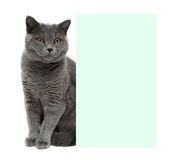 Gray cat sitting behind a banner on a white background Royalty Free Stock Photo