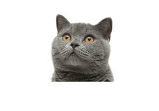 Gray cat sitting behind a white banner and looking up Royalty Free Stock Photos
