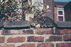 Gray cat sitting on brick wall. Gray cat sitting on brick wall Manchester UK Stock Photography