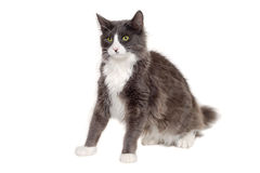 Gray cat sitting on a clean white background Stock Photo