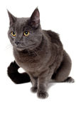 Gray cat sitting on a clean white background Stock Photography