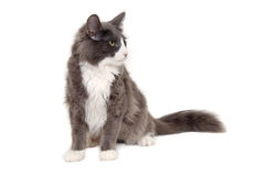 Gray cat sitting on a clean white background Stock Image