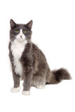 Gray cat sitting on a clean white background Royalty Free Stock Photos