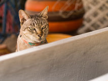 Gray Cat is Sitting and Drowsy. The Gray Cat is Sitting and Drowsy royalty free stock image
