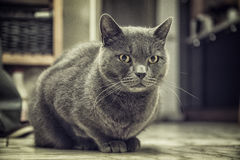 A gray cat sitting on the floor at home Stock Photo