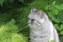 The gray cat sitting in a grass Royalty Free Stock Image