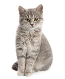Gray cat sitting. Isolated on white background Royalty Free Stock Photography