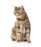 Gray cat sitting and looking away. isolated on white background Royalty Free Stock Photo