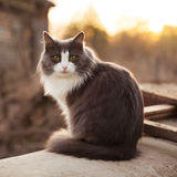 Gray cat sitting on the street Royalty Free Stock Photo