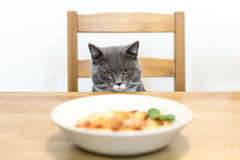 Gray cat sitting at the table royalty free stock images