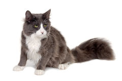 Gray cat sitting Stock Photography