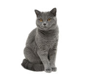 Gray cat sitting on a white background Stock Photo