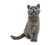 Gray cat sitting on white background Stock Photo