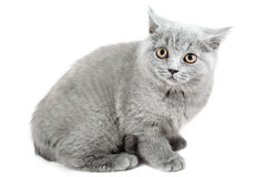 Gray cat sitting on a white background royalty free stock photos
