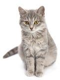 Gray cat sitting on white Stock Photo