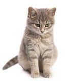 Gray cat sitting on white Stock Photos