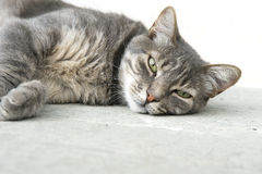 Gray cat sleeping Stock Image