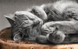 Gray cat sleeping on chair Royalty Free Stock Photography