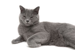 Gray cat sleeping on a white background close-up Royalty Free Stock Photography