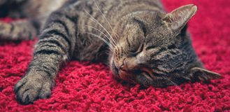 The gray cat sleeps comfortably on a red carpet. Sleeping gray cat lies on the red carpet. The cat is comfortable royalty free stock photo