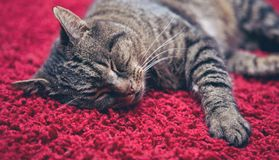 The gray cat sleeps comfortably on a red carpet. Sleeping gray cat lies on the red carpet. The cat is comfortable stock photography