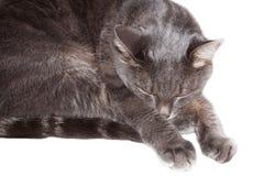Gray cat sleeps Stock Photography