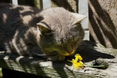 A gray cat sleeps on a small yellow flower. Cat and little flower on a gray bench in Sunny day Stock Images