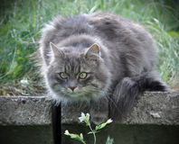 Gray cat Royalty Free Stock Photography