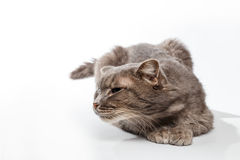 Gray cat sniffs on white background Stock Photos