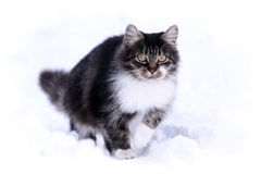 Gray cat in snow. Cat walk in snow winter field Stock Photos