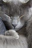 Gray cat on a sofa Stock Photos