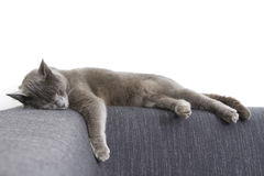 Gray cat on a sofa Stock Photo