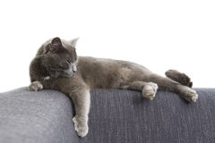 Gray cat on a sofa Royalty Free Stock Photography