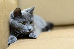 Gray cat on sofa indoor Stock Photos